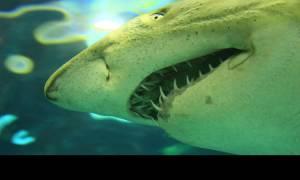 Λευκός καρχαρίας διακόπτει αστυνομική επιχείρηση