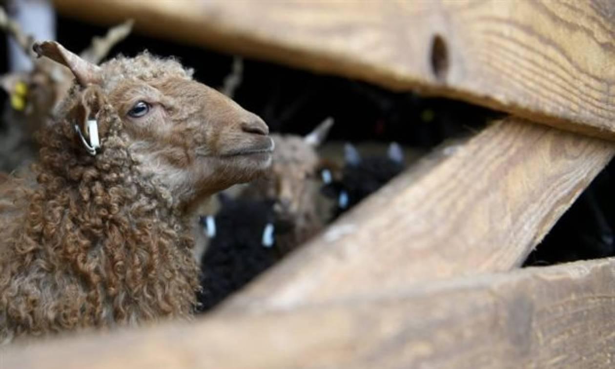 Κασμίρ: Η πρώτη κλωνοποιημένη κατσίκα από την οποία παράγεται το φημισμένο μαλλί έγινε μητέρα!