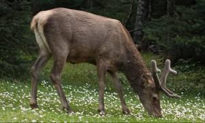 WWF: Κινδυνεύει με εξαφάνιση το κόκκινο ελάφι στην Ελλάδα