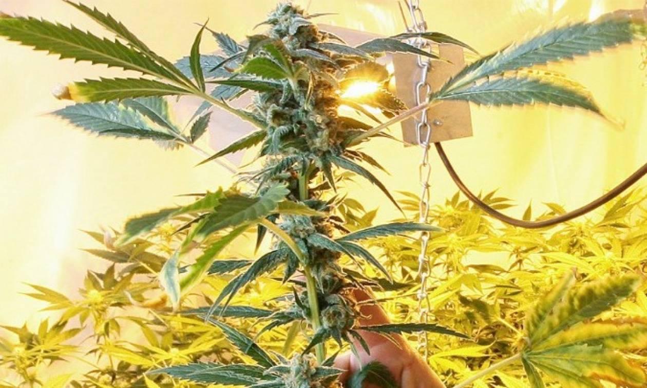Αττική: Εξαρθρώθηκε κύκλωμα που καλλιεργούσε δενδρύλλια κάνναβης σε... βίλες!