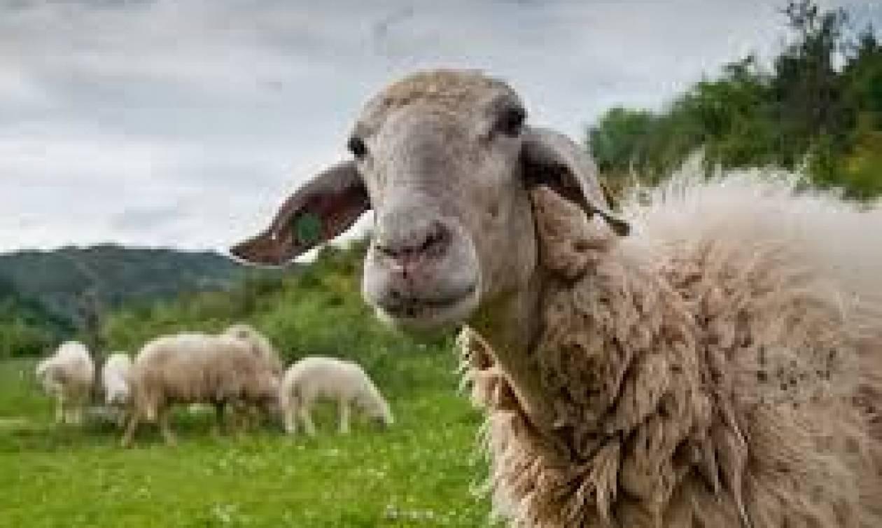 Αποτέλεσμα εικόνας για προβατα