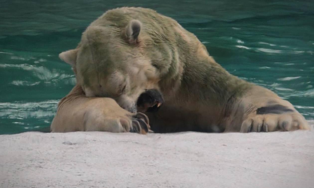 Πέθανε ο Ινούκα: Η πρώτη πολική αρκούδα που γεννήθηκε σε τροπική χώρα (vids)