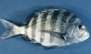 Ψάρι με ανθρώπινα δόντια σπέρνει τον τρόμο στους ψαράδες (photos)