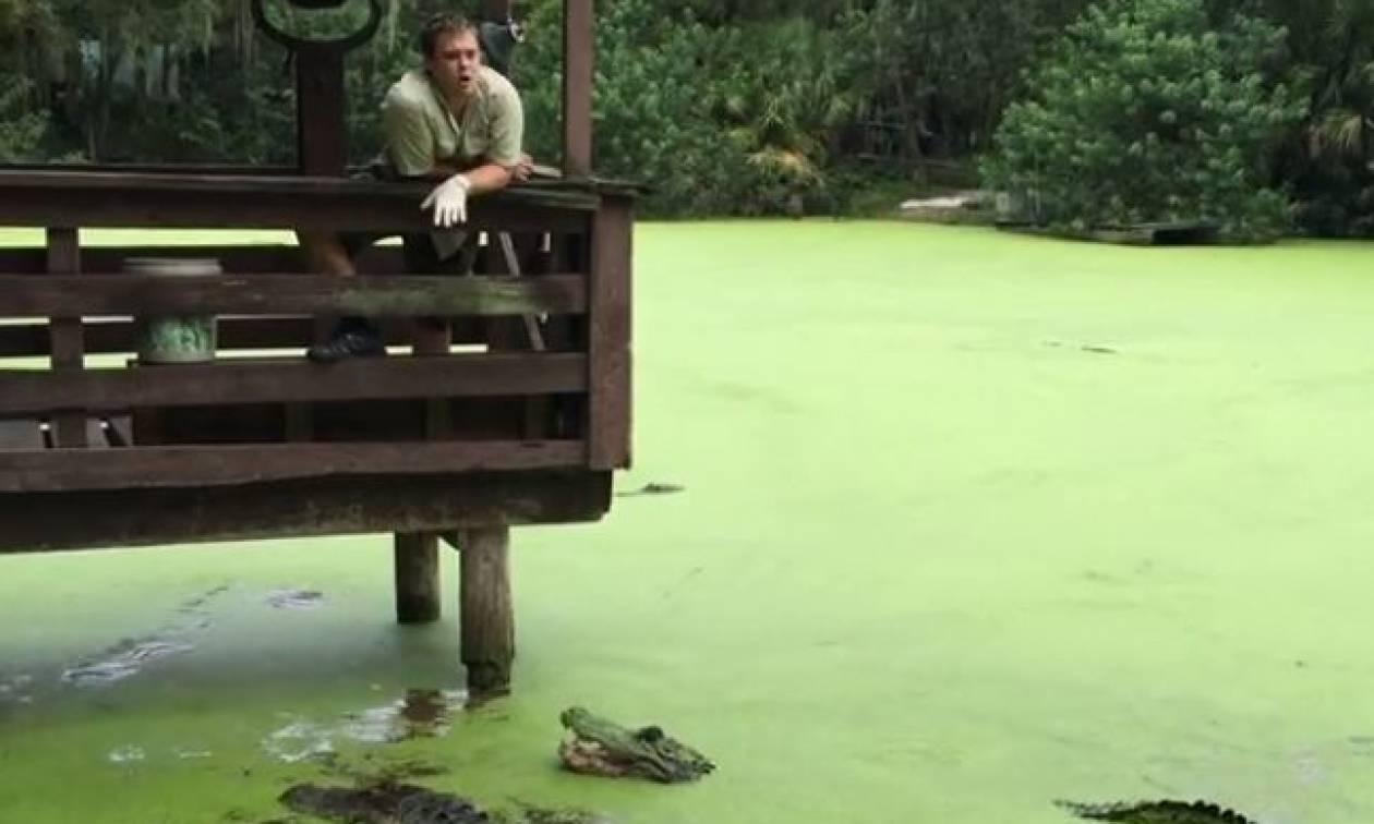 Η δουλειά του είναι να ταΐζει αλιγάτορες με το χέρι! Δείτε τον εν ώρα... εργασίας (video)