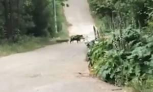 Αγριογούρουνα... «κόβουν» βόλτες στην Εκάλη! (vid)