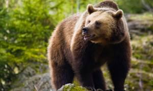 Υπό παρακολούθηση τέθηκαν τέσσερις ... αρκούδες στη Φλώρινα