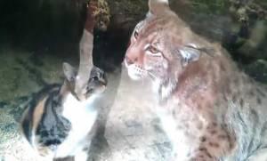 Απίστευτο! Γατούλα πέφτει μέσα στο κλουβί αγριόγατου και… (vid)