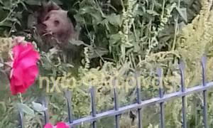 Αρκούδα με τα δύο μικρά της βρήκε καταφύγιο σε αυλή σπιτιού (vid)