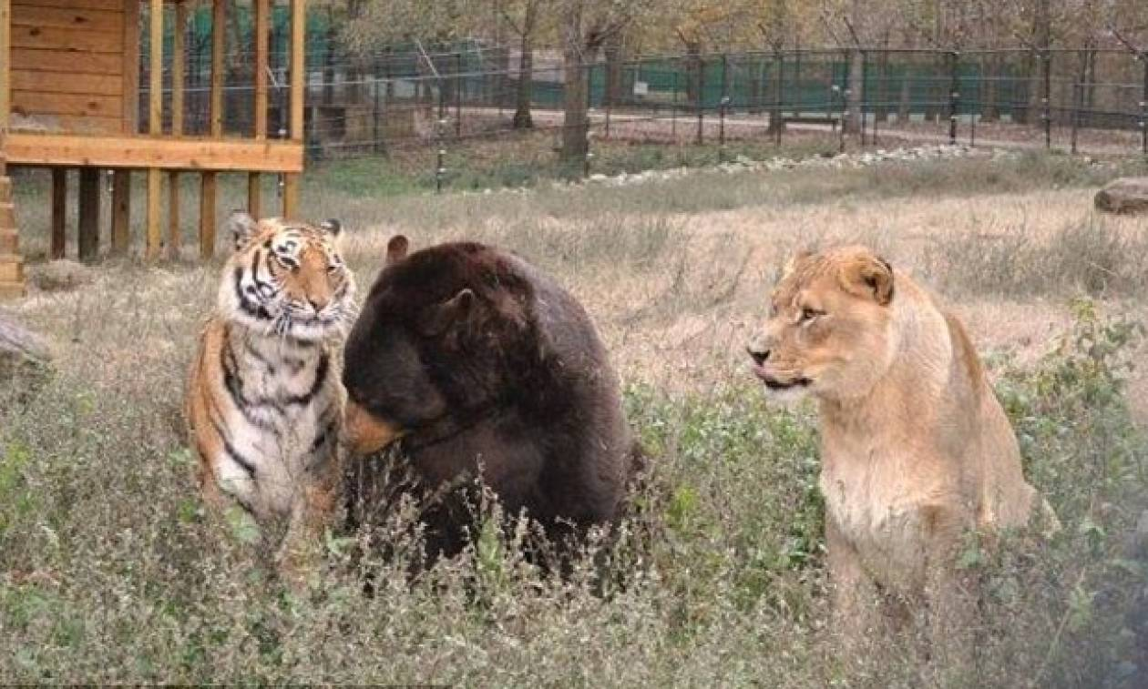 Συναγερμός στη Γερμανία: Λιοντάρια και τίγρεις δραπέτευσαν από ζωολογικό κήπο