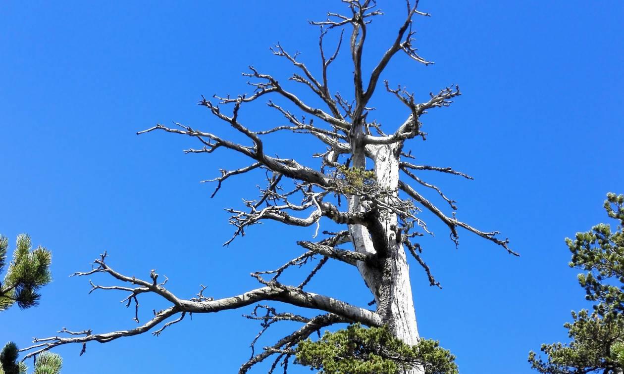 Πόσο χρονών είναι το γηραιότερο δέντρο στην Ευρώπη - Ξεπέρασε τον... Άδωνι!