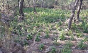 Ιεράπετρα: Εντοπίστηκε «ορφανή» φυτεία κάνναβης με περισσότερα από 1.700 δενδρύλλια (pics)