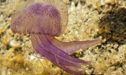 Греческие курорты атакуют ядовитые медузы