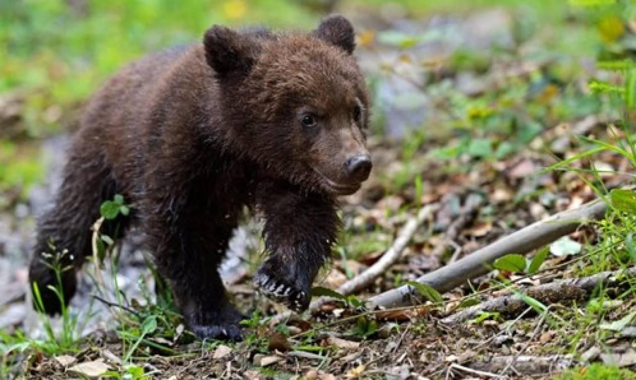 Πέντε ορφανά αρκουδάκια στο καταφύγιο του «Αρκτούρου»