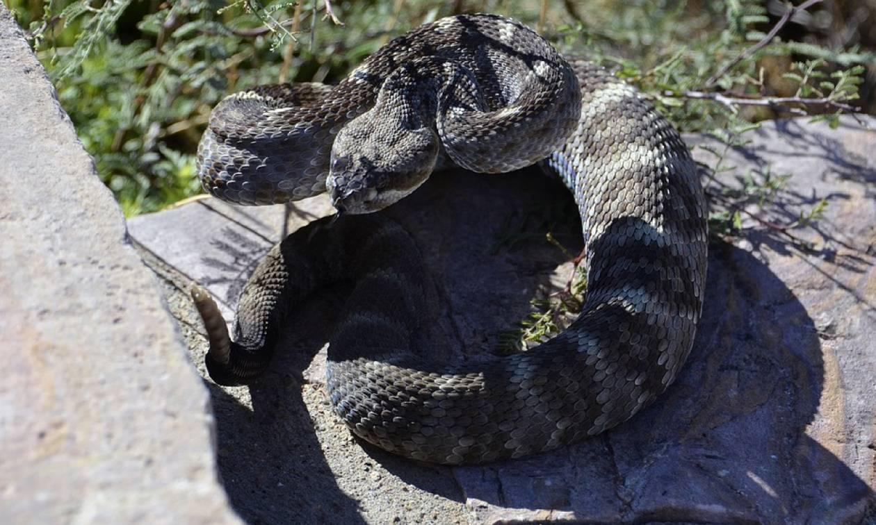 Απίστευτο: Παραλίγο να πεθάνει από δάγκωμα… ακρωτηριασμένου κεφαλιού ενός φιδιού