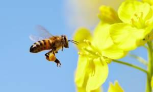 Απίστευτο: Αυτός είναι ο αριθμός που «καταλαβαίνουν» οι μέλισσες