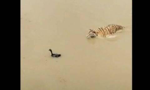Πανέξυπνη πάπια κάνει βουτιά, η τίγρη που την κυνηγάει μένει... χαζή (vid)