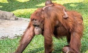 Επισκέπτες ζωολογικού πάρκου έπαθαν σοκ όταν είδαν ουρακοτάγκο να... (video