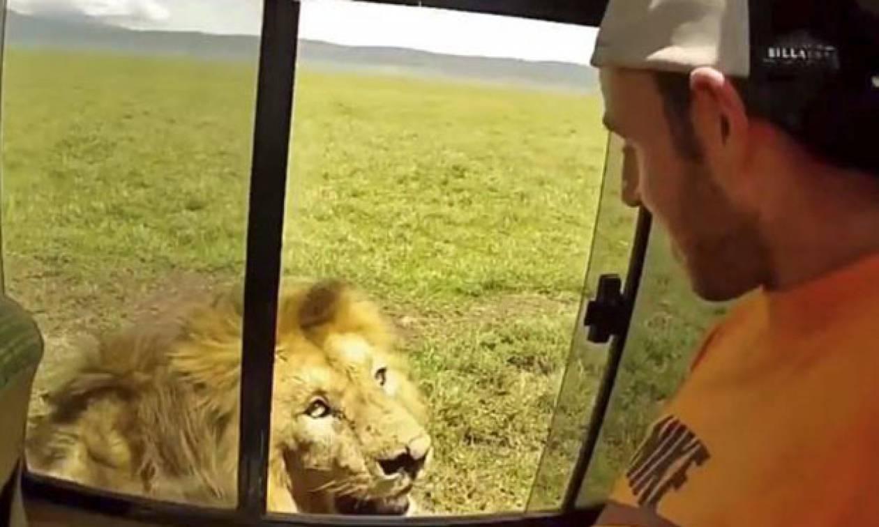 Τολμηρός τουρίστας χαϊδεύει λιοντάρι αλλά η αντίδραση κόβει την ανάσα (vid)