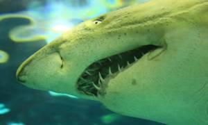 Ισπανία Λευκός καρχαρίας 5 μέτρων εμφανίστηκε στις Βαλεαρίδες Νήσους!