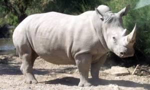 Δημιουργήθηκαν τα πρώτα υβριδικά έμβρυα βόρειου λευκού ρινόκερου - Έχουν απομείνει μόνο δύο!