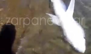 Τρόμος στα Χανιά: Καρχαρίας βγήκε σε παραλία (βίντεο - ντοκουμέντο)