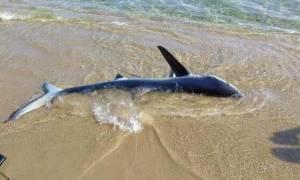 Καρχαρίας αναστάτωσε την Κρήτη - Προβληματισμός στις Αρχές (vid)