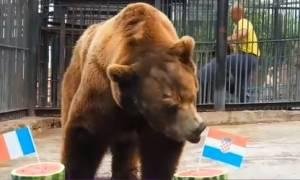 Μουντιάλ 2018: Ο αρκούδος Μπούγιαν προβλέπει τον νικητή! (vid)