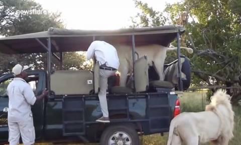 Λιοντάρι ορμάει σε λεωφορείο γεμάτο μαθητές! (video)
