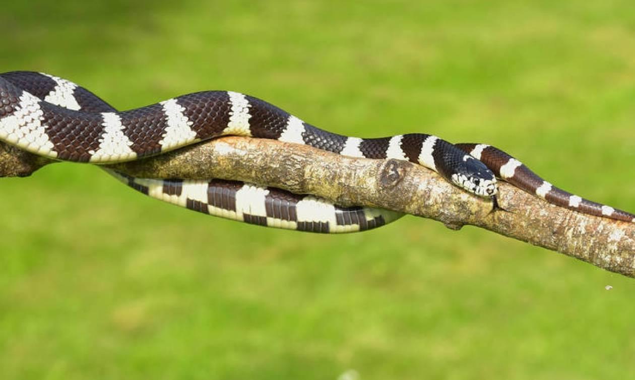 Bandy-bandy: Αυτό το νέο δηλητηριώδες φίδι που ανακάλυψαν επιστήμονες