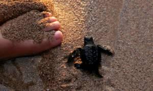 Διακόσια χελωνάκια καρέτα-καρέτα στο πρώτο τους κολύμπι στη Μεσόγειο (pics)