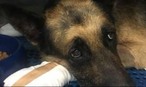 Υιοθετήθηκε ο σκύλος που κάηκε από τη φωτιά και δεν τον ήθελε ο ιδιοκτήτης του