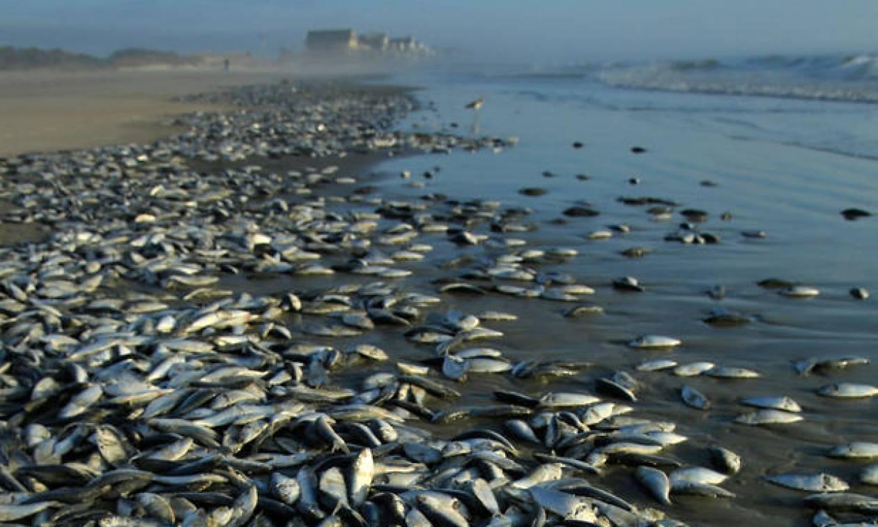 Απόκοσμο: Χιλιάδες νεκρά ψάρια ξεβράστηκαν σε παραλία (video)