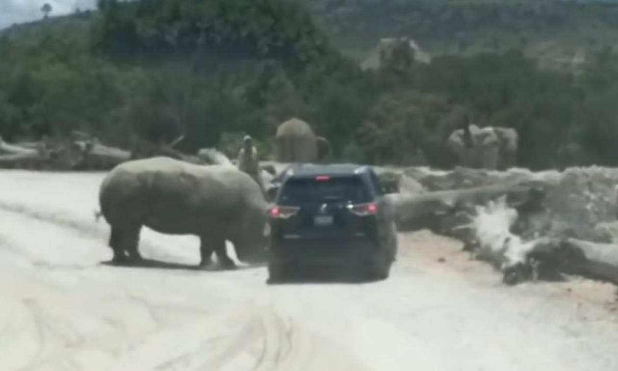 Μεξικό: Επίθεση ρινόκερου σε αυτοκίνητο με τουρίστες (vid)
