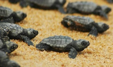 Кипр: сотни морских черепашек вылупились из яиц и устремились в море