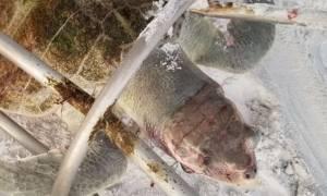 Εικόνες φρίκης: Μία από τις πιο σπάνιες χελώνες του πλανήτη σκοτώθηκε από… σκαμπό!
