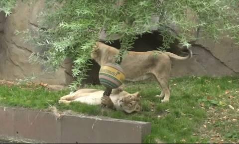 Τα λιοντάρια γιορτάζουν σήμερα και στο ζωολογικό κήπο του Λονδίνου τους έκαναν δώρα (vid)