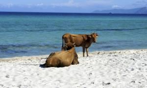 Σουηδία: Και οι αγελάδες θα δροσίζονται στις παραλίες τις ημέρες καύσωνα
