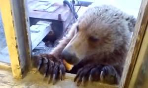 Αρκούδα μπήκε σε αποθήκη να βρει φαγητό - Δεν φαντάζεστε πώς αντέδρασε εργάτης μόλις την είδε (vid)