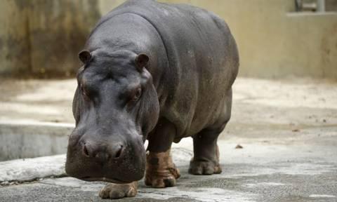 Πέθανε ο γηραιότερος ιπποπόταμος στον πλανήτη (Vid+Pics)