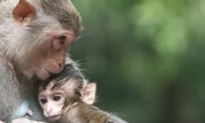 Μαϊμούδες δεν ξέρουν πώς να κρατήσουν το μικρό τους αγκαλιά (vid)