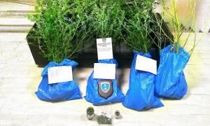 Κέρκυρα: 36χρονος καλλιεργούσε στον κήπο του «δάσος» από χασισόδεντρα (pics)
