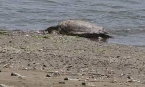 Εντοπίστηκε νεκρή θαλάσσια χελώνα στη Μάνη