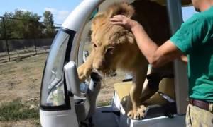 Λιοντάρι «τρελαίνεται» με τουρίστες και αρχίζει τις αγκαλιές! (vid)
