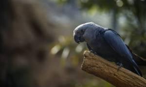 Εξαφανίστηκαν από τη φύση οι μπλε παπαγάλοι της Βραζιλίας (pics)