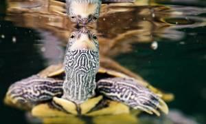 Σοκαριστικά στοιχεία: Περισσότερες από τις μισές χελώνες παγκοσμίως έχουν φάει πλαστικό