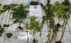 Χαλκιδική: 38χρονος καλλιεργούσε δενδρύλλια κάνναβης σε ποιμνιοστάσιο