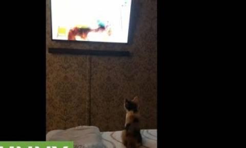 Γατάκι παρακολουθεί με μεγάλη προσοχή τηλεόραση (vid)
