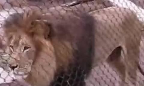 Ο εντυπωσιακός βρυχηθμός των λιονταριών (vid)