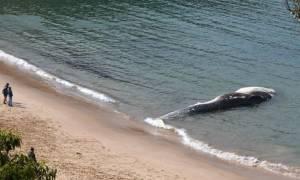 Αυστραλία: Μυστήριο με κουφάρι φάλαινας μήκους... 20 μέτρων
