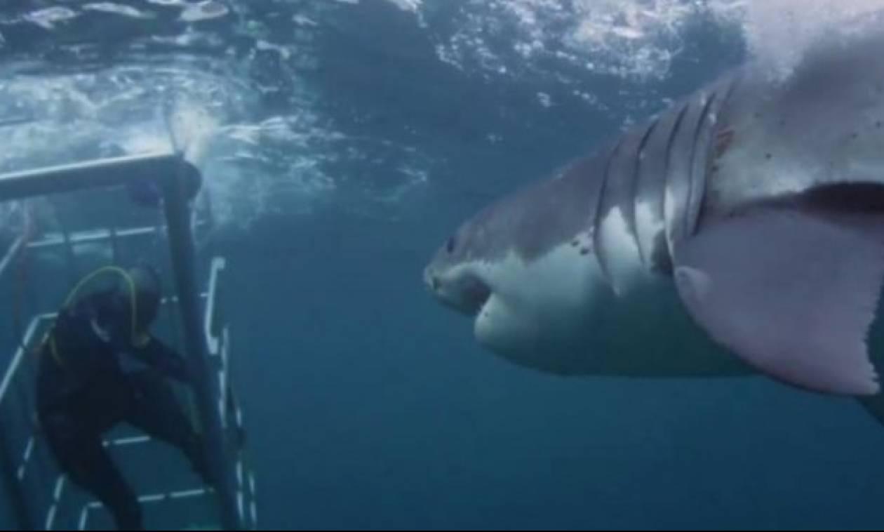 Ανατριχιαστικό! Πελώριος καρχαρίας προσπαθεί να μπει στο σιδερένιο κλουβί των δυτών (vid)